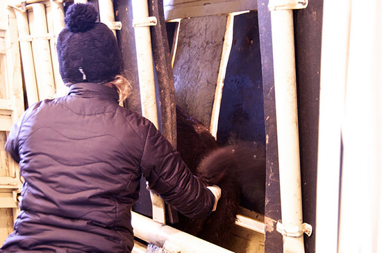 A person reaches through a gate on a cattle squeeze and into the anus of a bison.