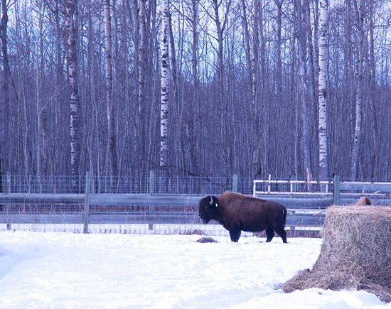 A lone bison stands in a large, snow covered, fenced enclosure with a round hay bale in the left foreground.