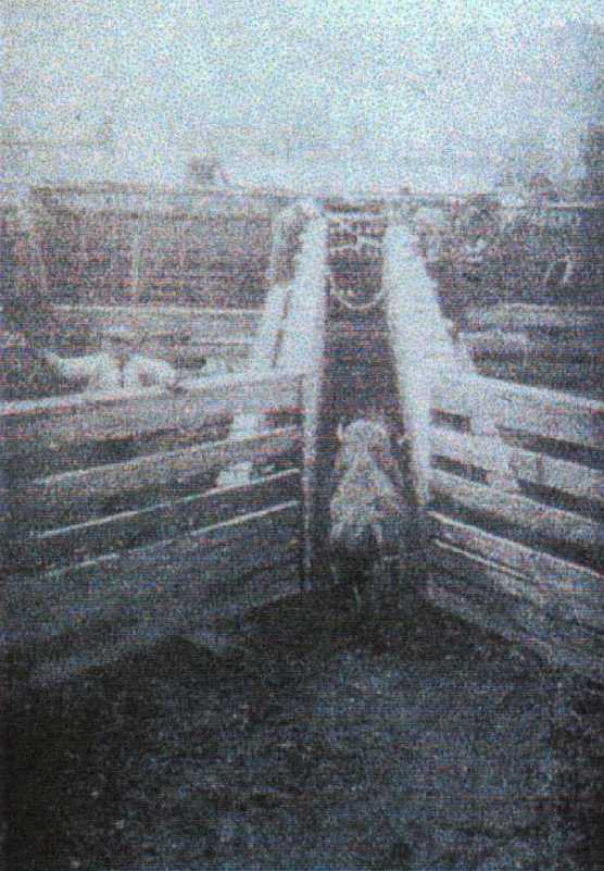 Once confined in the corrals, the bison were loaded onto trains for the journey North.