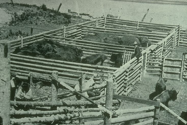 During the early 1920s, 6,673 plains bison from Buffalo National Park were gathered together, then sent by train north to Waterways, AB, enroute to Wood Buffalo National Park.