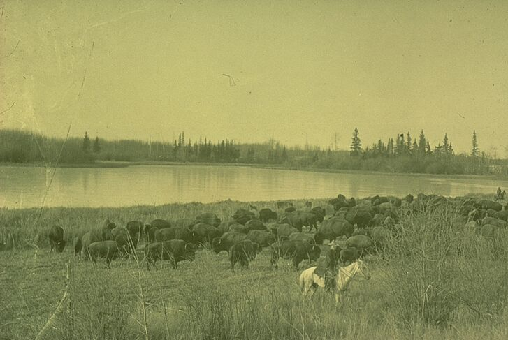 Once they were off-loaded the plains bison rapidly spread throughout the park, and in a short time had made contact with the resident wood bison.