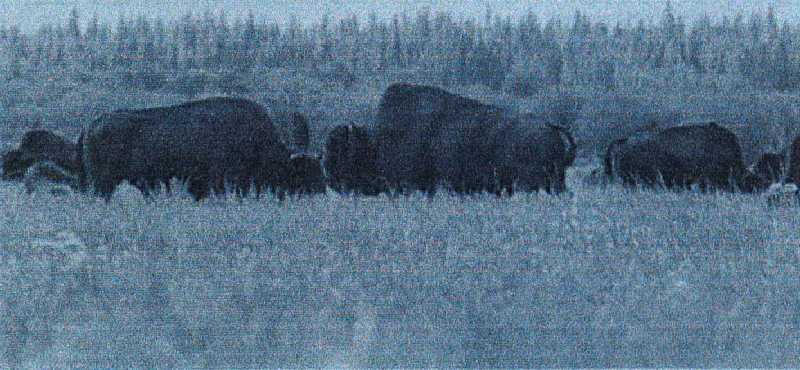 The vast open areas of the Peace-Athabasca Delta then and now offer sanctuary to large numbers of bison.