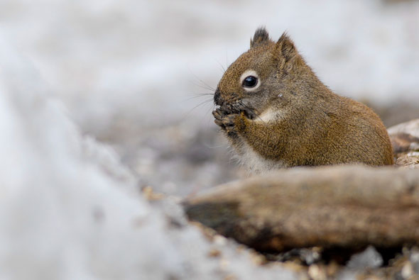 Red Squirrels are amusing to watch from winter trails in Jasper