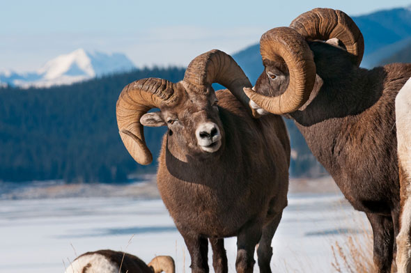 Bighorn Sheep are found in many montane areas throughout Jasper in winter