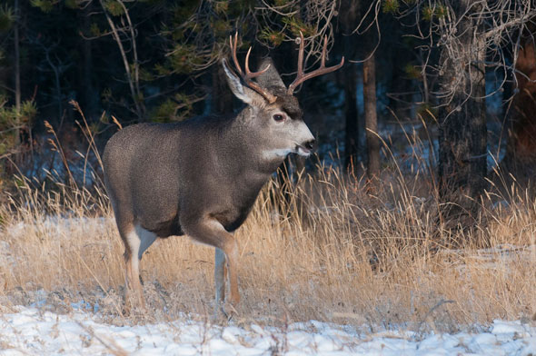 Mule Deer in winter can be readily seen around Jasper townsite