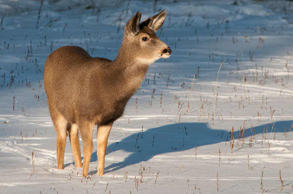 A female mule deer remains alert for signs of trouble