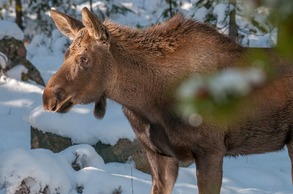 Moose are less common in the park- with best viewing chances near wetland habitat and places with edible willows