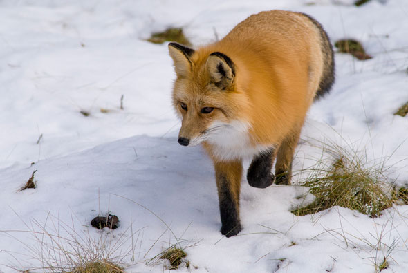 Red Fox are found in Jasper National Park where elsewhere in the Rockies, their occurance is rare