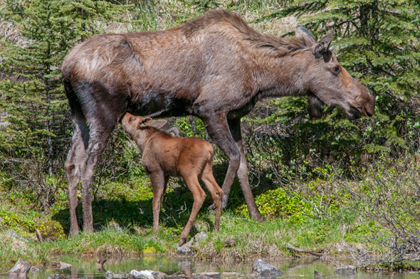 Mother moose and her calve