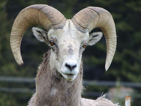 A Waterton bighorn sheep poses for the camera