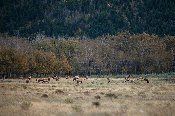 Elk on the Blakiston Fan during the Waterton Wildlife Weekend in September