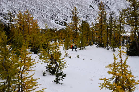 Early snowfall in October provides a backdrop for golden larches at Upper Rowe Lake