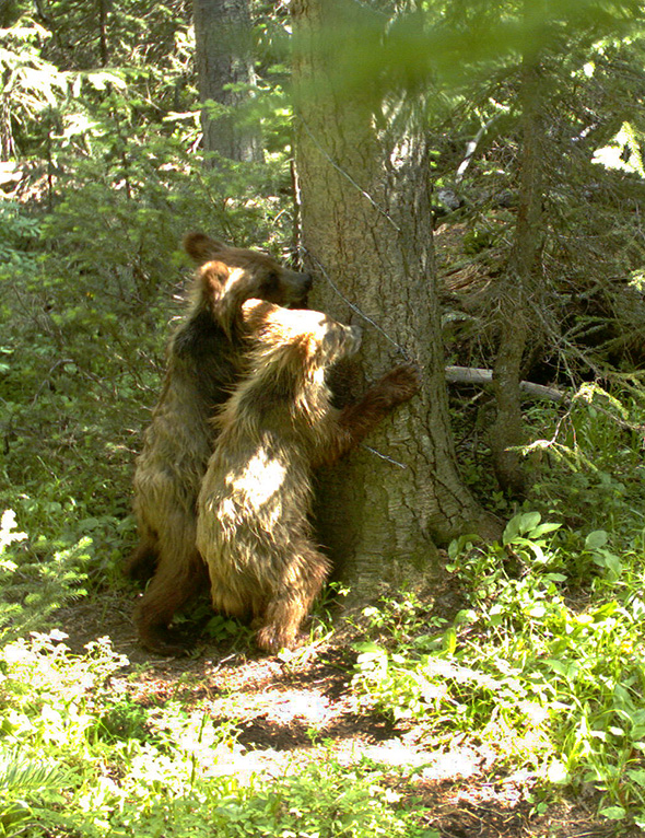 Tree huggers - one of our remote cameras captures some young grizzly bears having fun