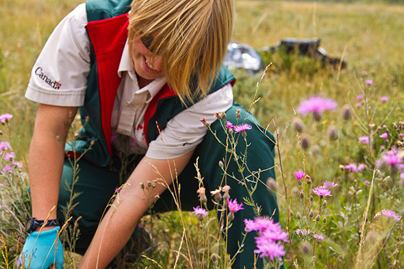 Parks Canada interpreter Brie Nelson pulls spotted knapweed on the Blakiston Fan