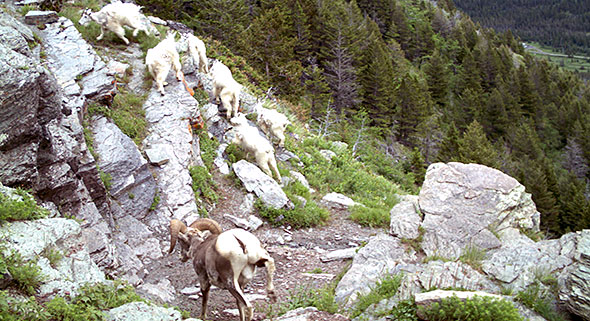 Bighorn sheep and mountain goats