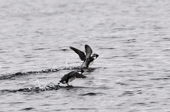 ancient murrelets on the water