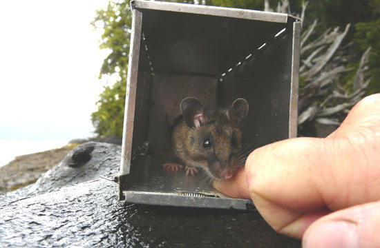 In Gwaii Haanas, introduced rats have had serious detrimental effects on seabird populations as well as those of native small native mammals like dusky shrew (show here) and Keen's deer mice.