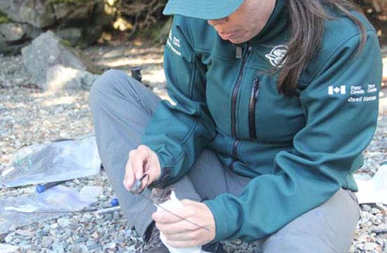 To help monitor the success of their work, Parks Canada staff radio collared rats on the island.