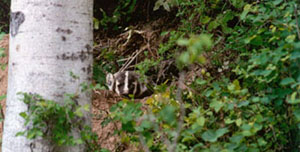 Badgers are an important part of the East Kootenay ecosystem