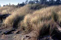 European & American beachgrass