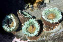 Giant green anemones anchored to the rocky shore