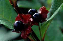 Black twinberry is a common shrub found in the spruce fringe forest