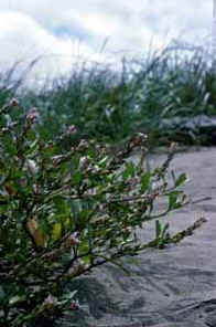 American sea-rocket grows in the beach sand