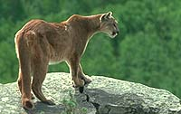 The elusive cougar is rarely seen park resident