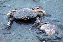 A pair of Dungeness crabs burrowing into the sand