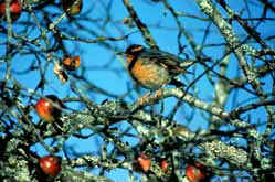 A Varied thrush perched on pacific crab apple