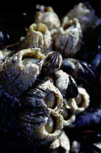 Acorn barnacles exposed during a low tide