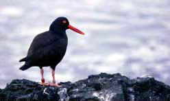 A black oyster catcher in search of a meal