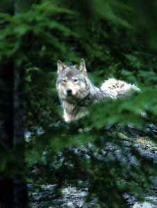 A wolf peers through the vegetation