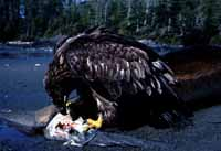 An immature bald eagle finding a meal on the beach