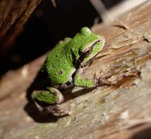 Pacific tree frog clinging to a rail
