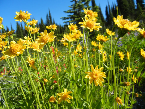 Mountain Arnica (Arnica latifolia)