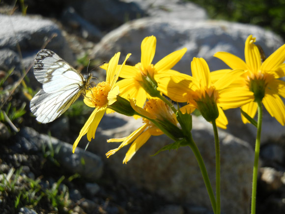 butterfly and arnica flowers