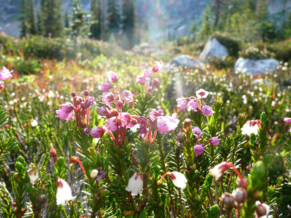 Pink mountain heather (Phyllococe empetriformis)