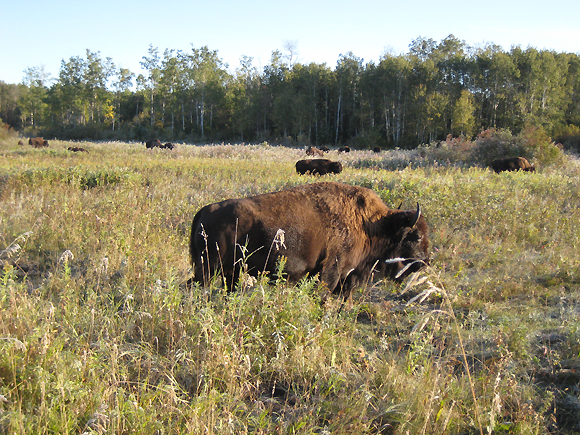Bison at Lake Audy