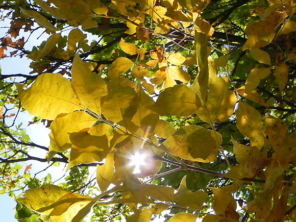 Sun peeking through fall leaves – East Escarpment