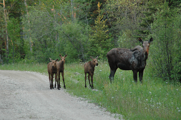 Mother Moose with Triplets at Whirlpool Lake