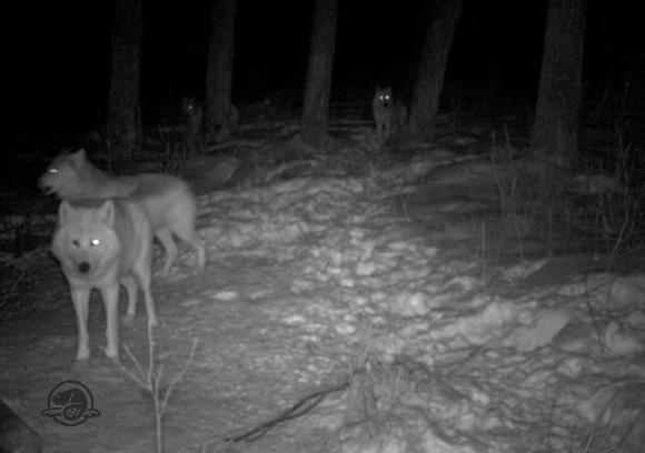 Wolf from remote camera