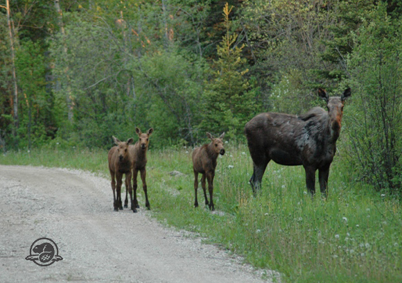Moose and triplets