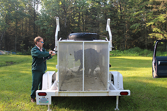 Bear is captured and cage is secured for transport