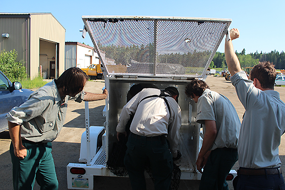 Loading the bear back in the cage for relocation