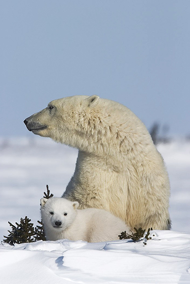 Female polar bear with cub