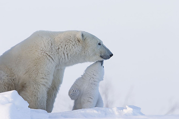 Polar bear cub reaching up to his mother's face with his nose.