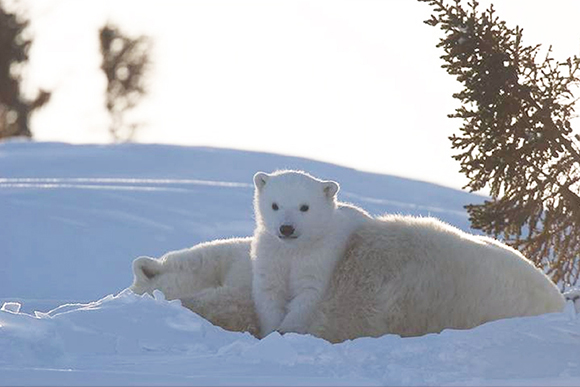 A polar bear cub laying on his mother's back while she rests.