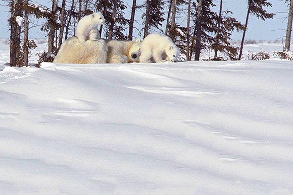 Two polar bear cubs play while their mother rest.