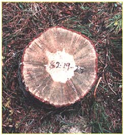 Tree stump showing blue stain fungi